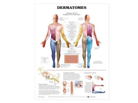 Anatomisk Affisch, Dermatom, 50 x 66 cm.