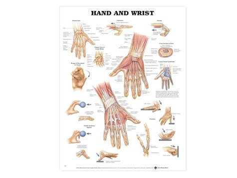 Anatomisk Affisch, Hand och Vrist.