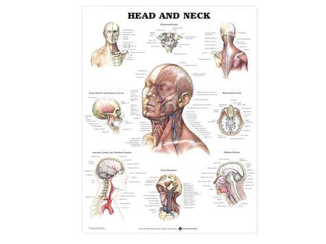 Anatomisk Affisch, Huvud och Nacke.