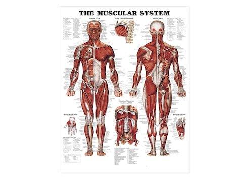 Anatomisk Affisch, Muskelsystemet.