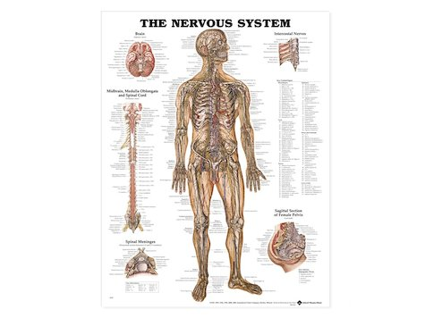 Anatomisk Affisch, Nervsystemet, 50 x 65 cm.