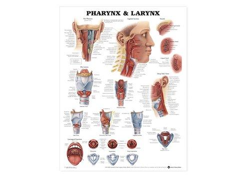 Anatomisk Affisch över svalg och struphuvud, 50 x 66 cm.
