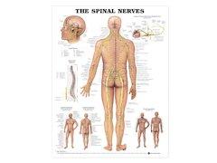 Anatomisk Affisch, Ryggradens Nervsystem.