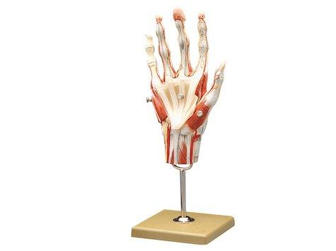 Anatomisk Handmodell 3D