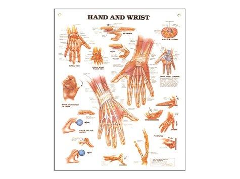 Hand och Vrist , Anatomi Affisch, 50 x 66 cm.