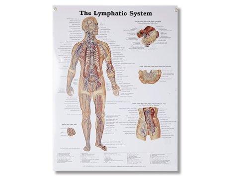Lymfsystemet, affisch 50 x 66 cm.